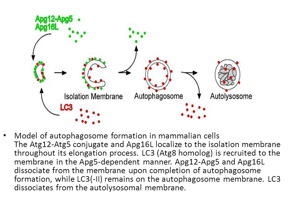 Model of autophagosome formation in mammalian cells The Atg12-Atg5 conjugate and Apg16L localize to the isolation membrane throughout its elongation p