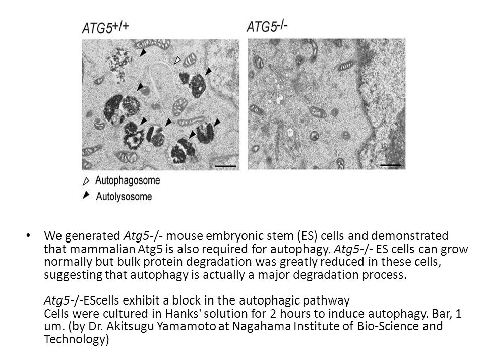 We generated Atg5-/- mouse embryonic stem (ES) cells and demonstrated that mammalian Atg5 is also required for autophagy. Atg5-/- ES cells can grow no