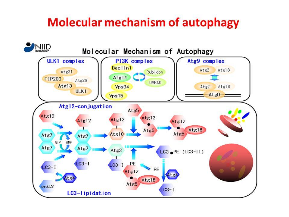 Molecular mechanism of autophagy