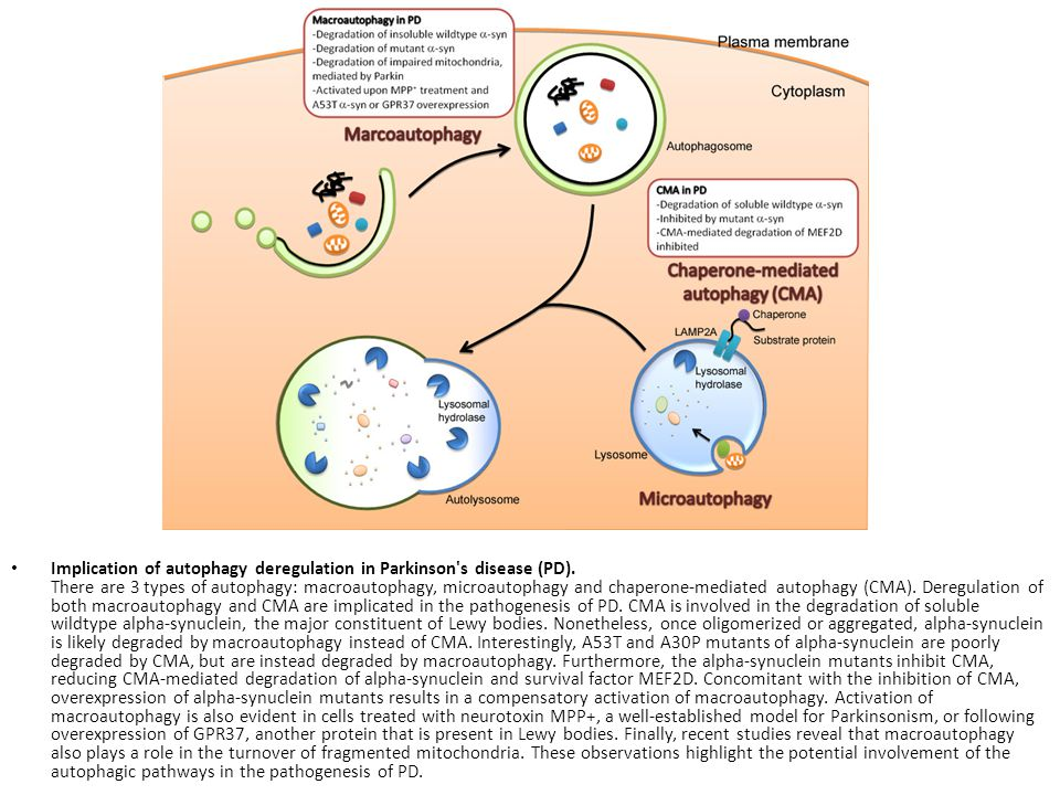 Implication of autophagy deregulation in Parkinson's disease (PD). There are 3 types of autophagy: macroautophagy, microautophagy and chaperone-mediat