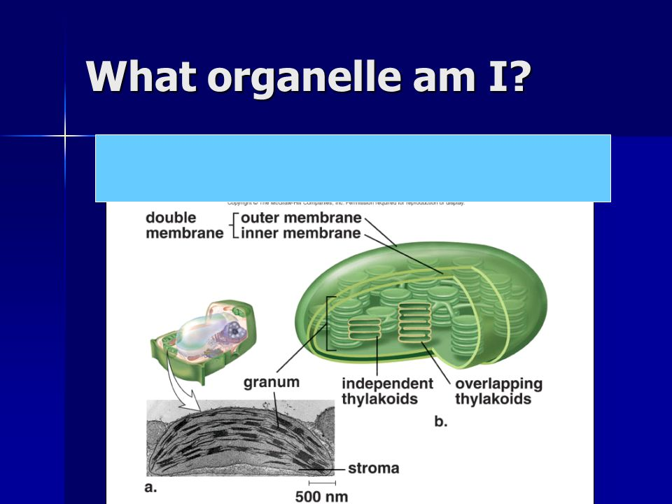What organelle am I?