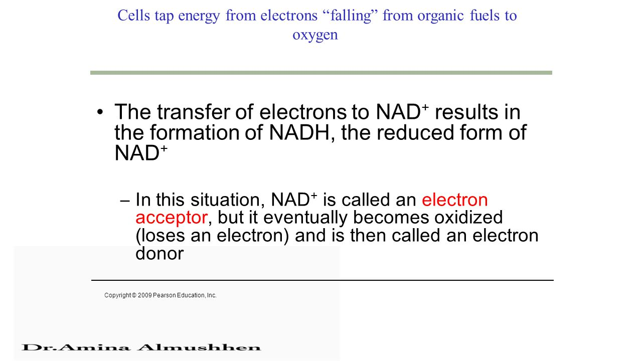 Cells tap energy from electrons falling from organic fuels to oxygen The transfer of electrons to NAD + results in the formation of NADH, the reduced form of NAD + –In this situation, NAD + is called an electron acceptor, but it eventually becomes oxidized (loses an electron) and is then called an electron donor Copyright © 2009 Pearson Education, Inc.