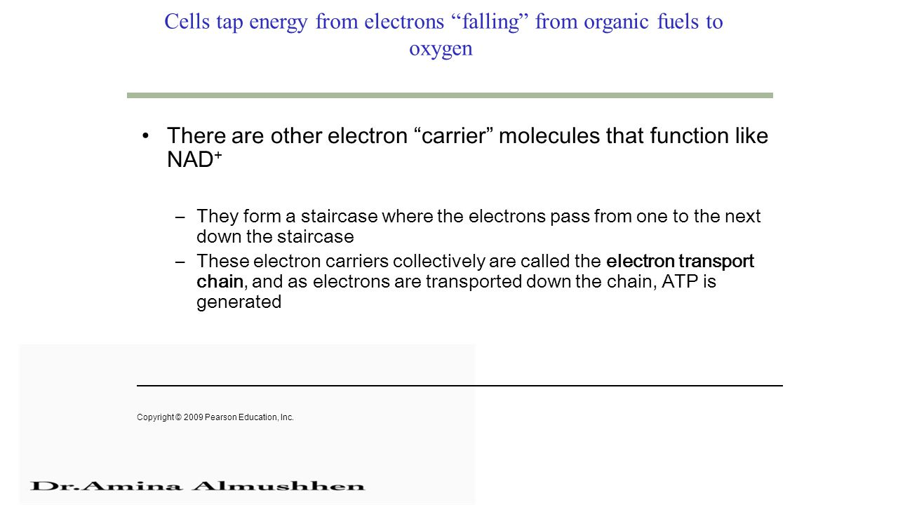 Cells tap energy from electrons falling from organic fuels to oxygen There are other electron carrier molecules that function like NAD + –They form a staircase where the electrons pass from one to the next down the staircase –These electron carriers collectively are called the electron transport chain, and as electrons are transported down the chain, ATP is generated Copyright © 2009 Pearson Education, Inc.