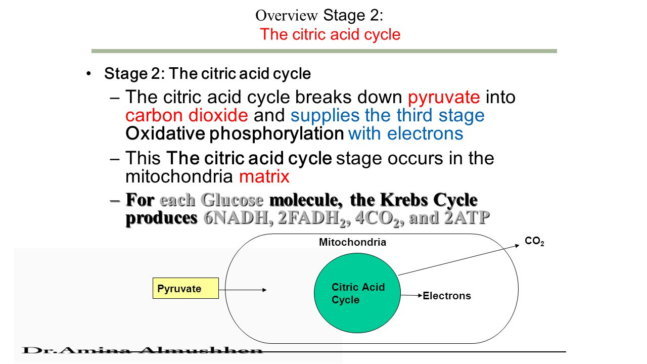Overview Stage 2: The citric acid cycle Stage 2: The citric acid cycle –The citric acid cycle breaks down pyruvate into carbon dioxide and supplies the third stage Oxidative phosphorylation with electrons –This The citric acid cycle stage occurs in the mitochondria matrix –For each Glucose molecule, the Krebs Cycle produces 6NADH, 2FADH 2, 4CO 2, and 2ATP Citric Acid Cycle Pyruvate Electrons Mitochondria CO 2