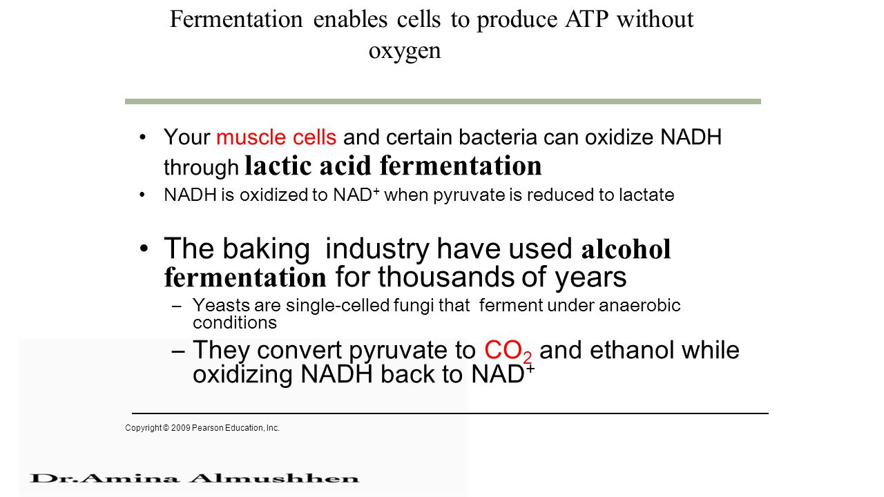 Fermentation enables cells to produce ATP without oxygen Your muscle cells and certain bacteria can oxidize NADH through lactic acid fermentation NADH is oxidized to NAD + when pyruvate is reduced to lactate The baking industry have used alcohol fermentation for thousands of years –Yeasts are single-celled fungi that ferment under anaerobic conditions –They convert pyruvate to CO 2 and ethanol while oxidizing NADH back to NAD + Copyright © 2009 Pearson Education, Inc.