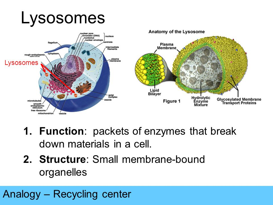 Lysosomes Analogy – Recycling center 1.Function: packets of enzymes that break down materials in a cell.