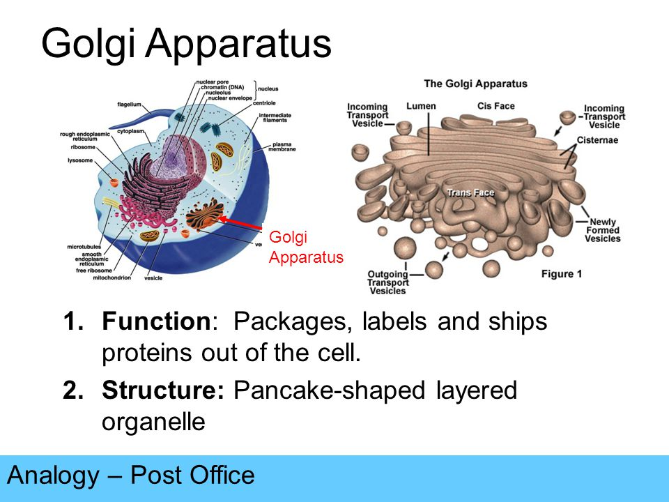 Golgi Apparatus Analogy – Post Office 1.Function: Packages, labels and ships proteins out of the cell.