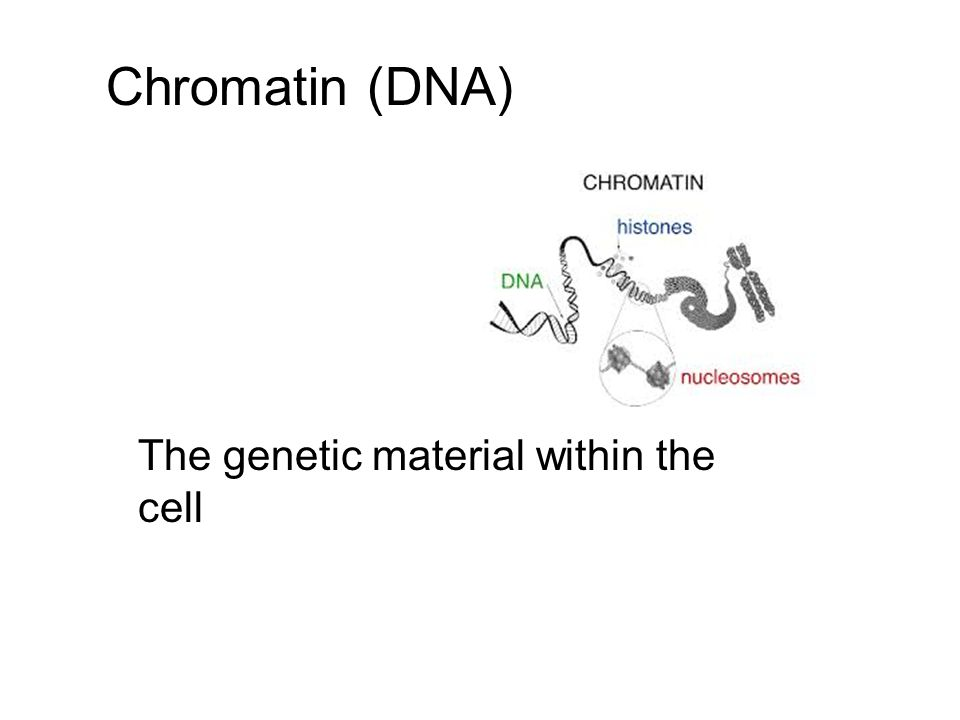 Chromatin (DNA) The genetic material within the cell