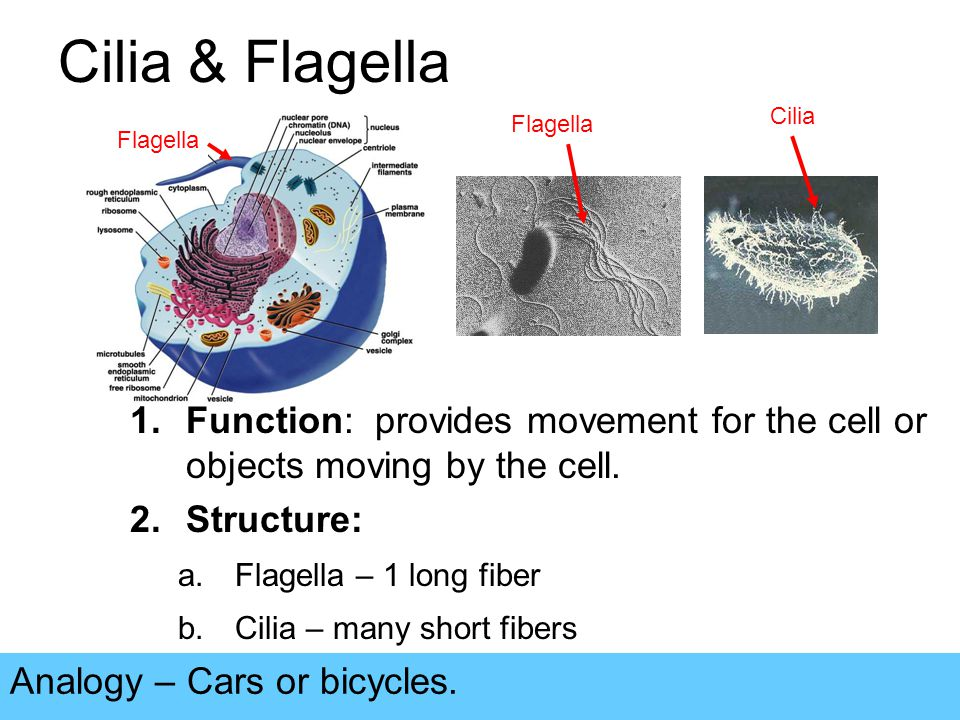 Cilia & Flagella Analogy – Cars or bicycles.