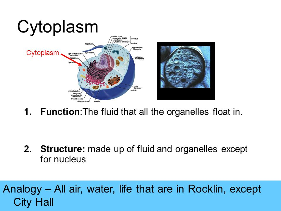Cytoplasm 1.Function:The fluid that all the organelles float in.