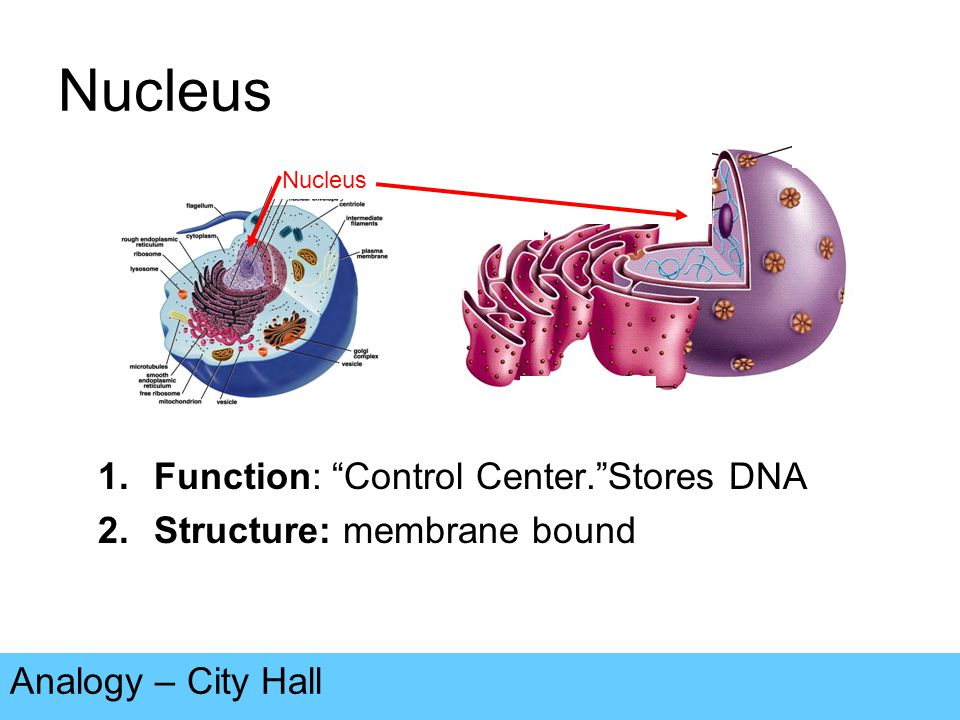 Nuclear Envelope Analogy – Walls & Doors of City Hall 1.Function: Regulates what enters or exits the nucleus.