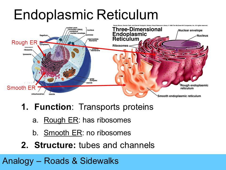 Ribosomes Analogy – Restaurants, Factories, Builders.