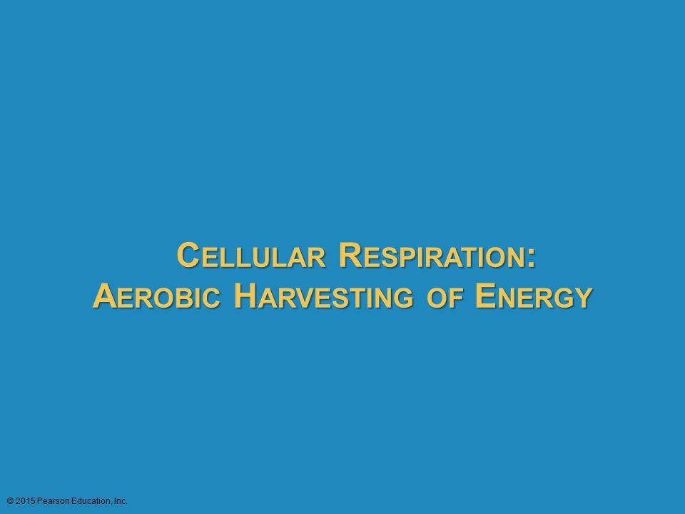 C ELLULAR R ESPIRATION : A EROBIC H ARVESTING OF E NERGY C ELLULAR R ESPIRATION : A EROBIC H ARVESTING OF E NERGY