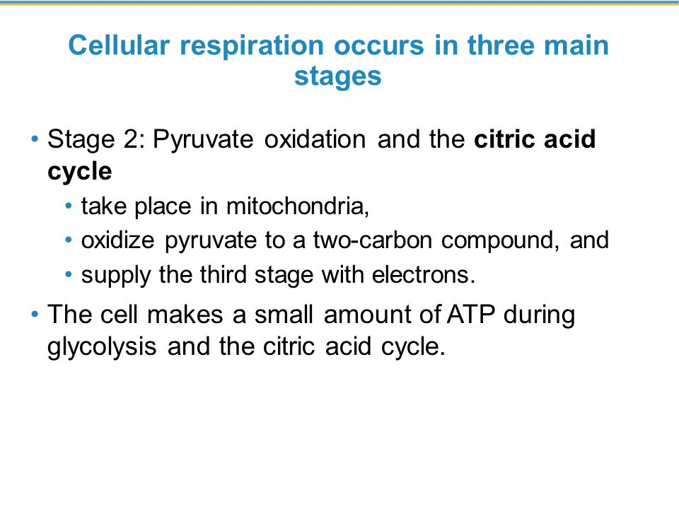 Cellular respiration occurs in three main stages Stage 2: Pyruvate oxidation and the citric acid cycle take place in mitochondria, oxidize pyruvate to a two-carbon compound, and supply the third stage with electrons.