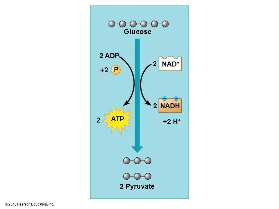 Glucose 2 ADP 2 Pyruvate ATP 2 NADH NAD + +2 H + +2+2 2 2 P