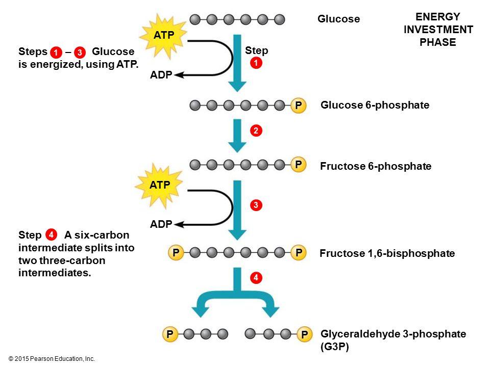 © 2015 Pearson Education, Inc. Glucose 1312344 Glucose 6-phosphate Fructose 6-phosphate Fructose 1,6-bisphosphate Glyceraldehyde 3-phosphate (G3P) ENE
