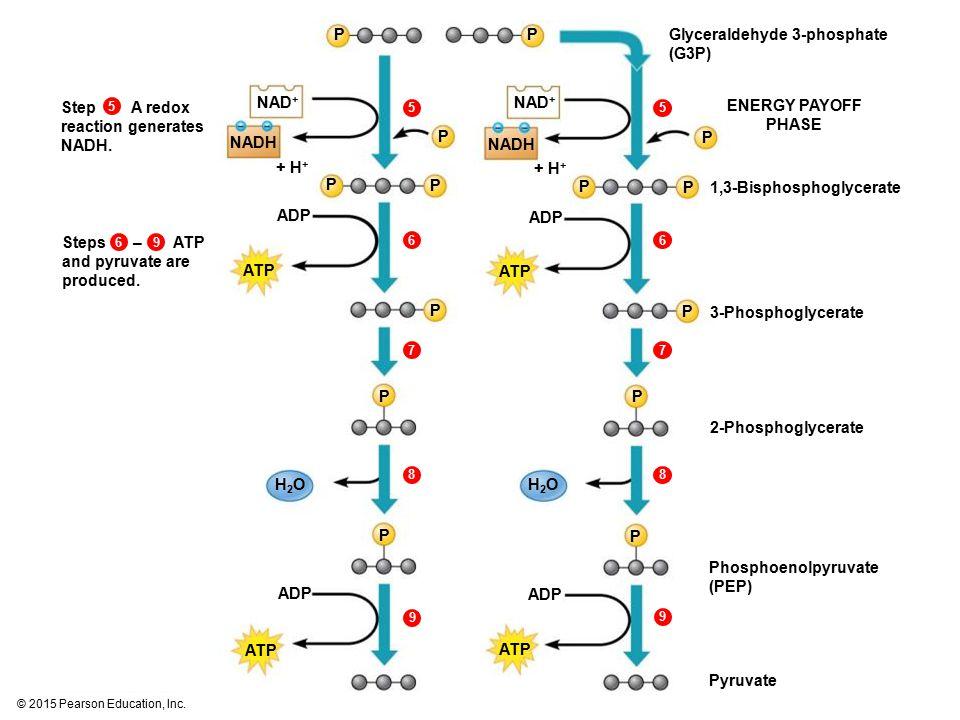 © 2015 Pearson Education, Inc. 5556978876699 Glyceraldehyde 3-phosphate (G3P) ATP ADP P ATP ADP H2OH2OH2OH2O NAD + NADH + H + P P P P P P P P P P P P