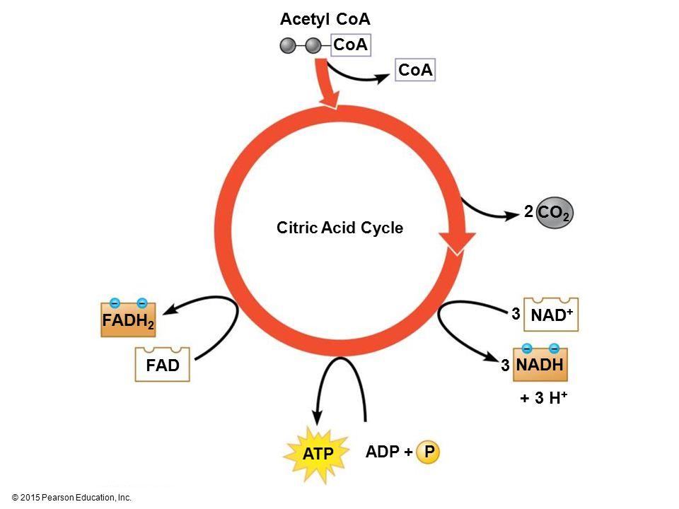 © 2015 Pearson Education, Inc. Citric Acid Cycle NAD + NADH + 3 H + CO 2 CoA Acetyl CoA 2 3 3 FADH 2 FAD ATP PADP +