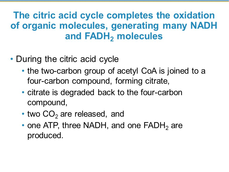 The citric acid cycle completes the oxidation of organic molecules, generating many NADH and FADH 2 molecules During the citric acid cycle the two-carbon group of acetyl CoA is joined to a four-carbon compound, forming citrate, citrate is degraded back to the four-carbon compound, two CO 2 are released, and one ATP, three NADH, and one FADH 2 are produced.