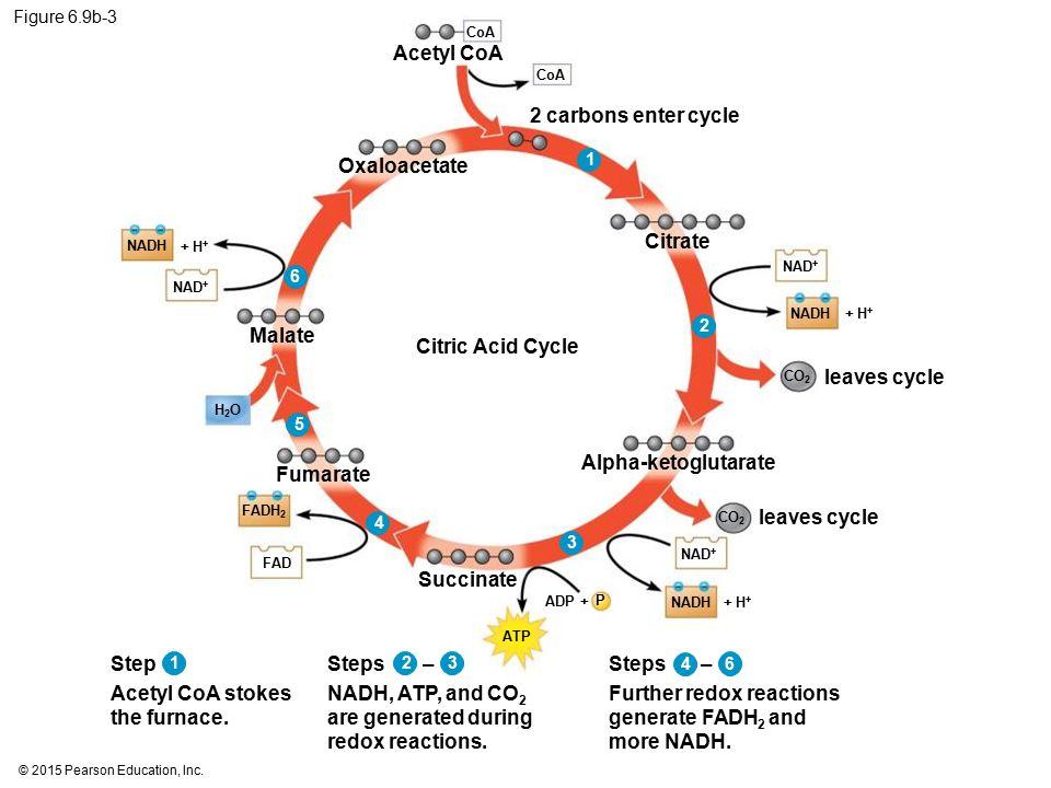 © 2015 Pearson Education, Inc. Figure 6.9b-3 Citric Acid Cycle NAD + NADH + H + CO 2 CoA Acetyl CoA FADH 2 FAD ATP P ADP + CO 2 + H + NAD + NADH H2OH2