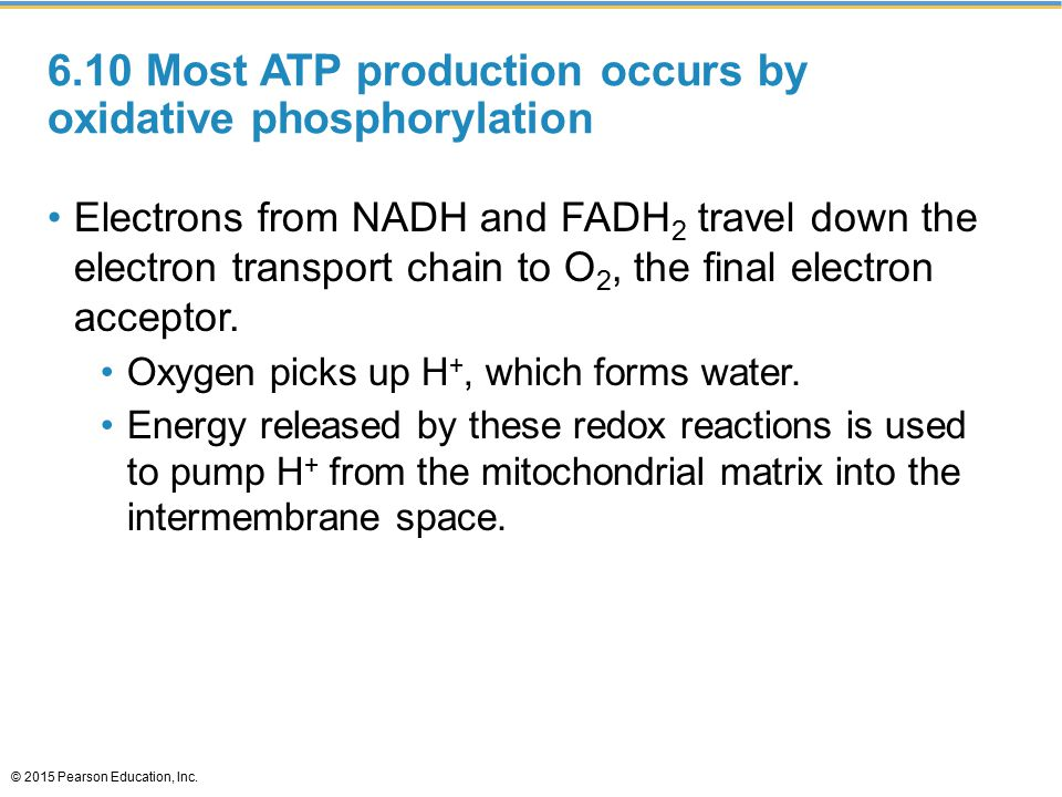 6.10 Most ATP production occurs by oxidative phosphorylation Electrons from NADH and FADH 2 travel down the electron transport chain to O 2, the final electron acceptor.