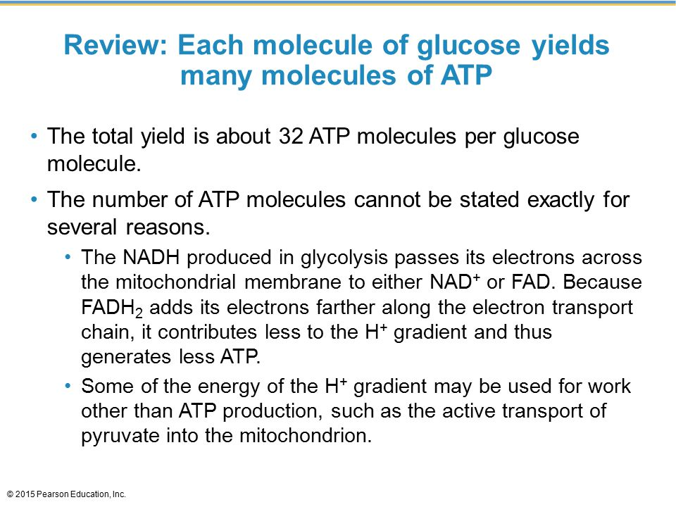 Review: Each molecule of glucose yields many molecules of ATP The total yield is about 32 ATP molecules per glucose molecule.