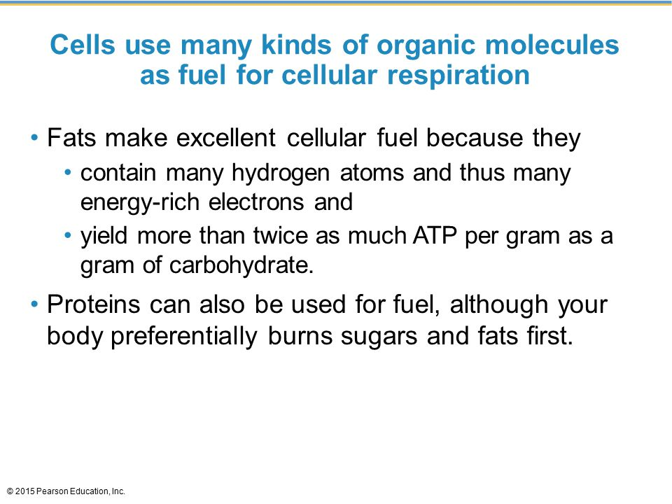 Cells use many kinds of organic molecules as fuel for cellular respiration Fats make excellent cellular fuel because they contain many hydrogen atoms