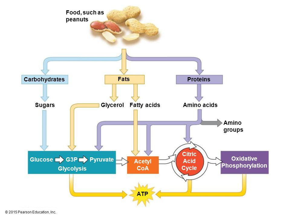 Food, such as peanuts Carbohydrates Fats Proteins Oxidative Phosphorylation SugarsGlycerolFatty acidsAmino acids Amino groups GlucoseG3PPyruvate Glycolysis Acetyl CoA Citric Acid Cycle ATP