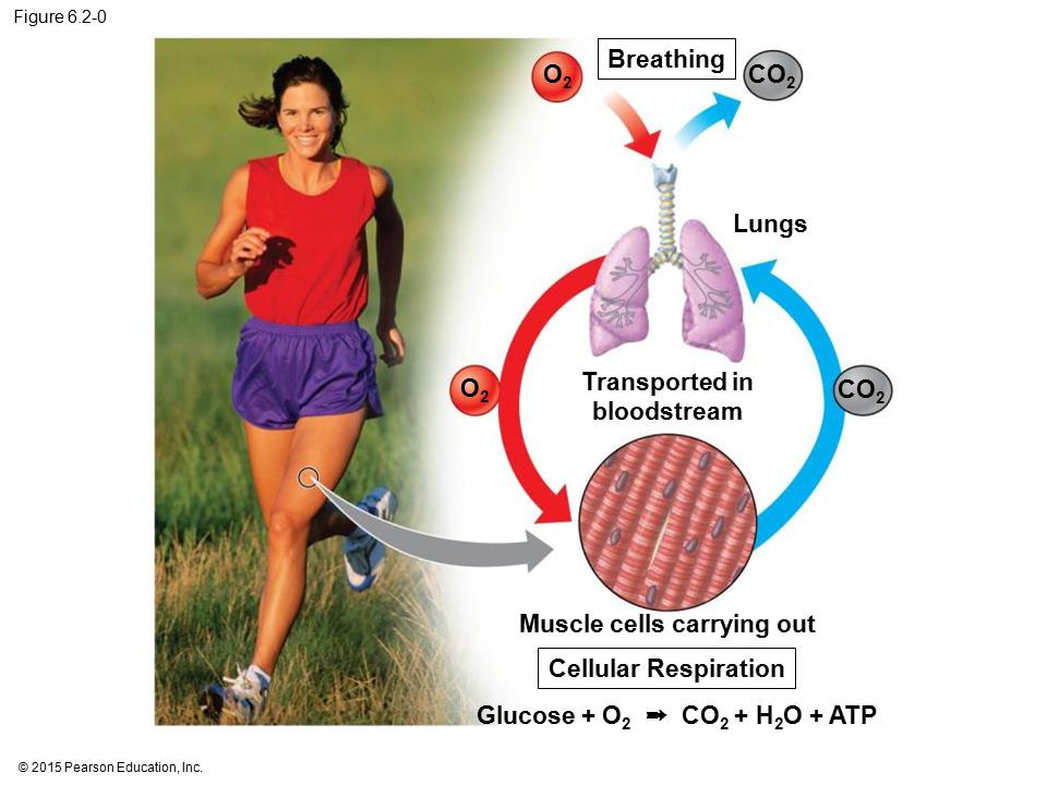 Figure 6.2-0 Lungs Transported in bloodstream Muscle cells carrying out Breathing Glucose + O 2 ➞ CO 2 + H 2 O + ATP Cellular Respiration O2O2 O2O2 CO