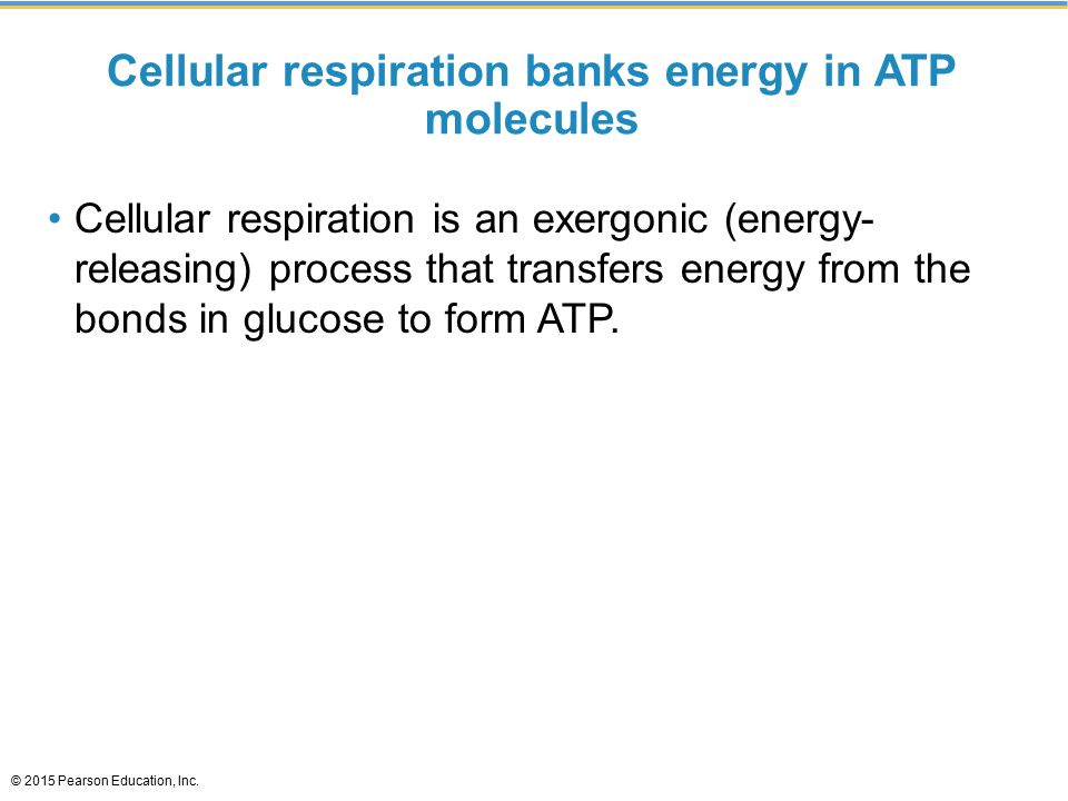 Cellular respiration banks energy in ATP molecules Cellular respiration is an exergonic (energy- releasing) process that transfers energy from the bonds in glucose to form ATP.
