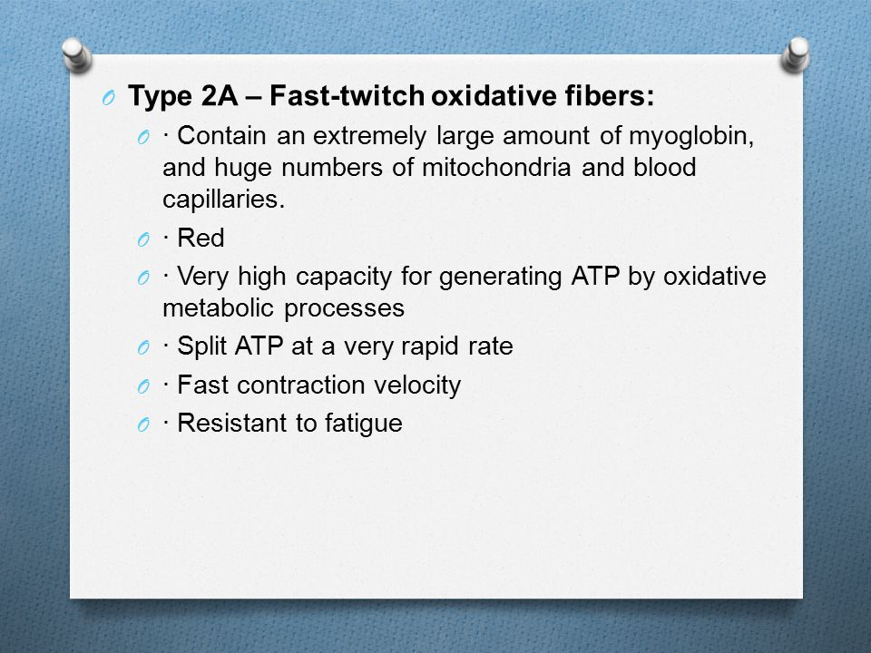 O Type 2A – Fast-twitch oxidative fibers: O · Contain an extremely large amount of myoglobin, and huge numbers of mitochondria and blood capillaries.