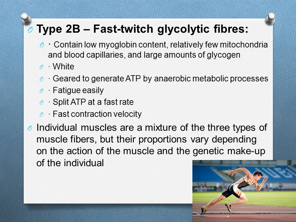 O Type 2B – Fast-twitch glycolytic fibres: O · Contain low myoglobin content, relatively few mitochondria and blood capillaries, and large amounts of glycogen O · White O · Geared to generate ATP by anaerobic metabolic processes O · Fatigue easily O · Split ATP at a fast rate O · Fast contraction velocity O Individual muscles are a mixture of the three types of muscle fibers, but their proportions vary depending on the action of the muscle and the genetic make-up of the individual