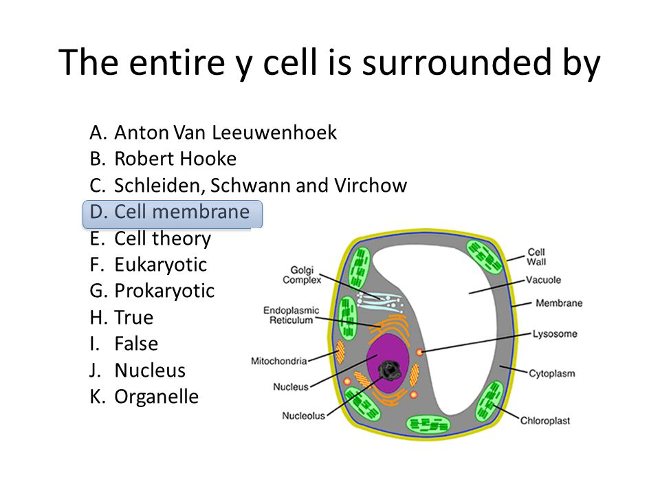 The entire y cell is surrounded by A.Anton Van Leeuwenhoek B.Robert Hooke C.Schleiden, Schwann and Virchow D.Cell membrane E.Cell theory F.Eukaryotic