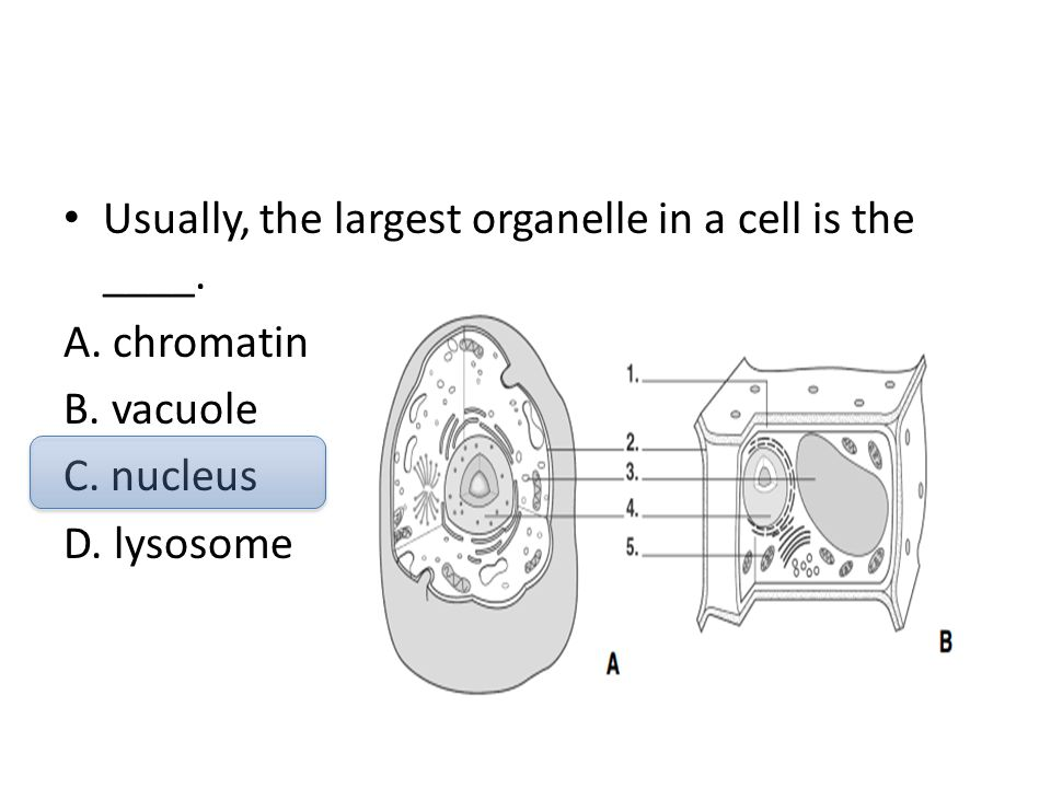 Usually, the largest organelle in a cell is the ____. A. chromatin B. vacuole C. nucleus D. lysosome