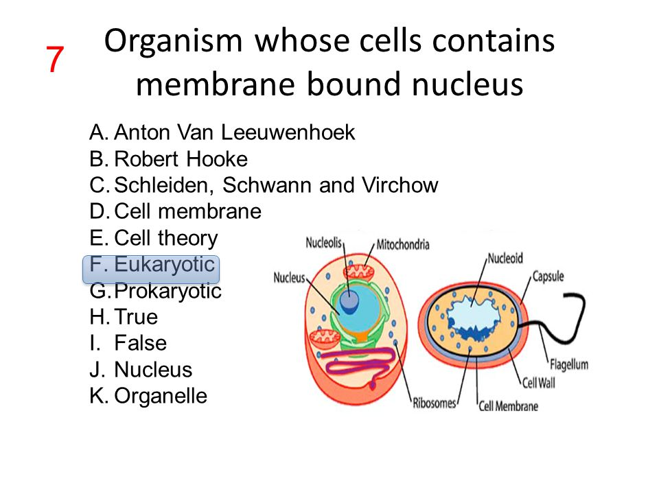 Organism whose cells contains membrane bound nucleus A.Anton Van Leeuwenhoek B.Robert Hooke C.Schleiden, Schwann and Virchow D.Cell membrane E.Cell th