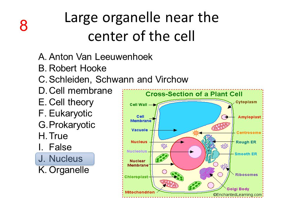 Large organelle near the center of the cell A.Anton Van Leeuwenhoek B.Robert Hooke C.Schleiden, Schwann and Virchow D.Cell membrane E.Cell theory F.Eu