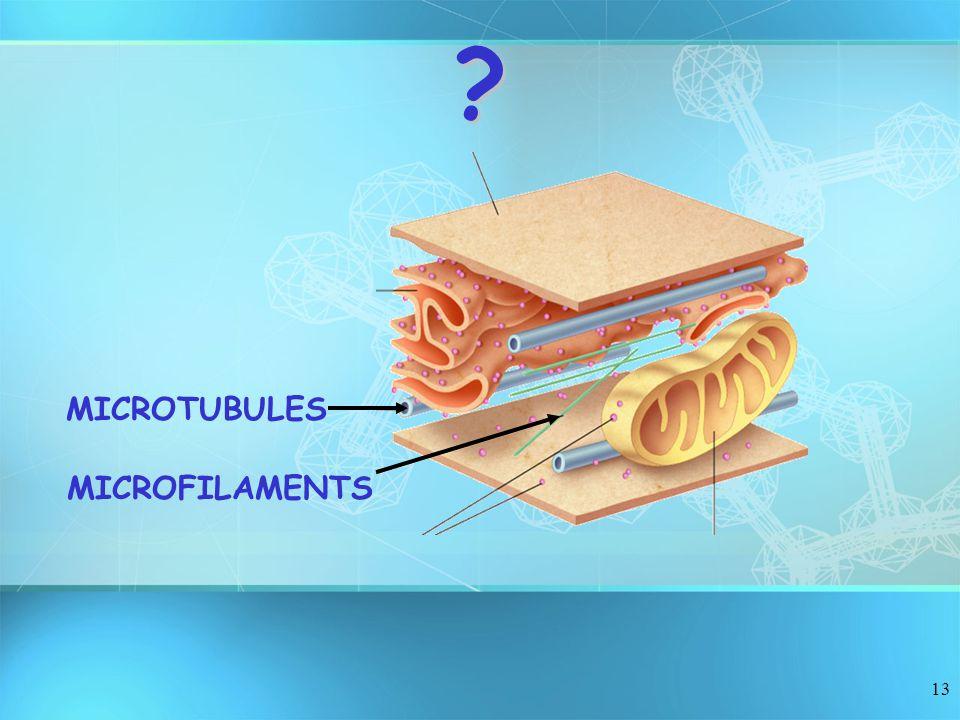 13 MICROTUBULES MICROFILAMENTS ?