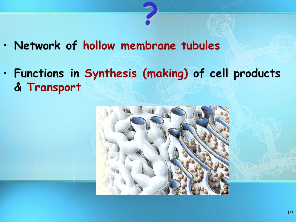 19 Network of hollow membrane tubules Functions in Synthesis (making) of cell products & Transport?