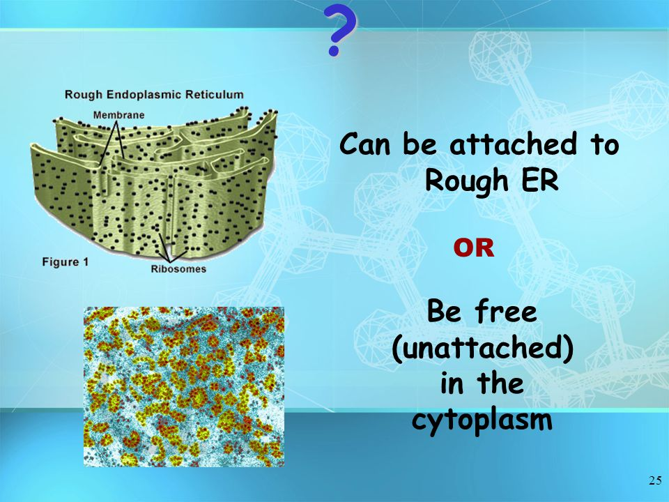 25 Can be attached to Rough ER OR Be free (unattached) in the cytoplasm?