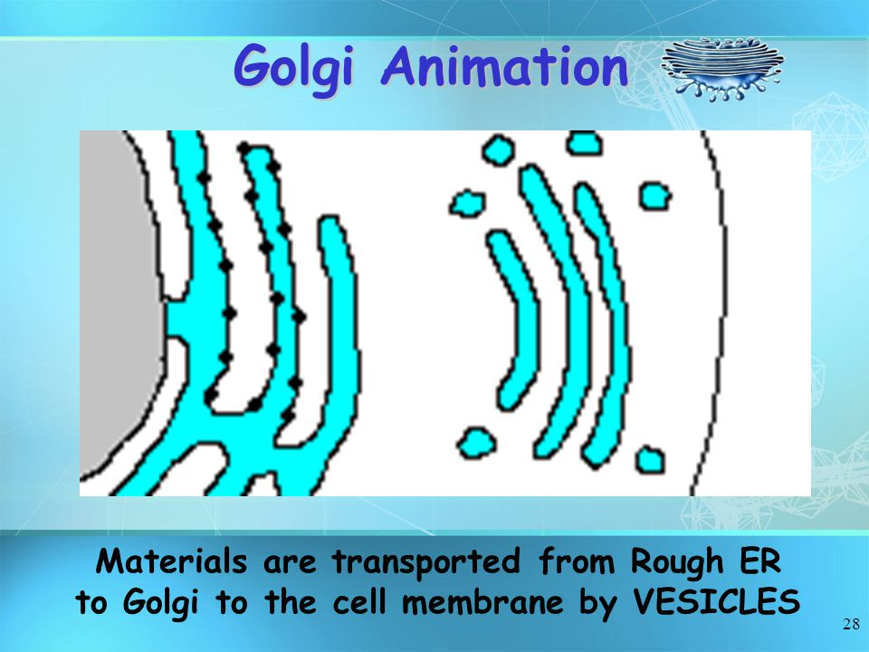 28 Golgi Animation Materials are transported from Rough ER to Golgi to the cell membrane by VESICLES