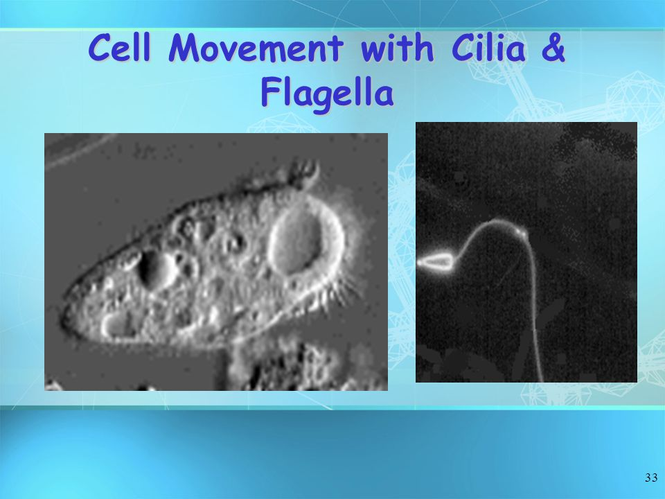 33 Cell Movement with Cilia & Flagella