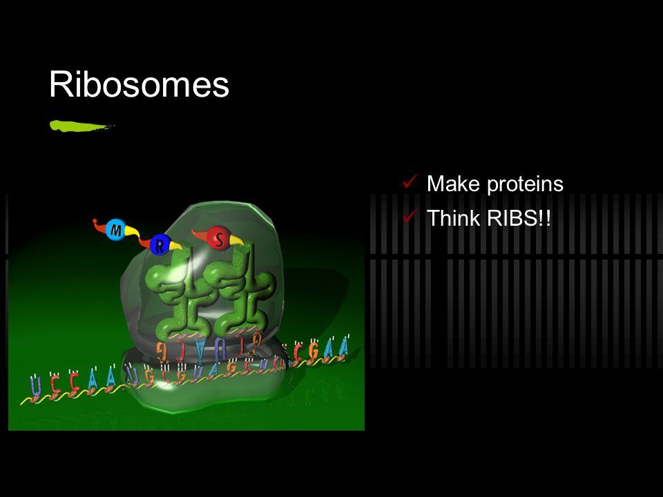 Ribosomes Make proteins Think RIBS!!