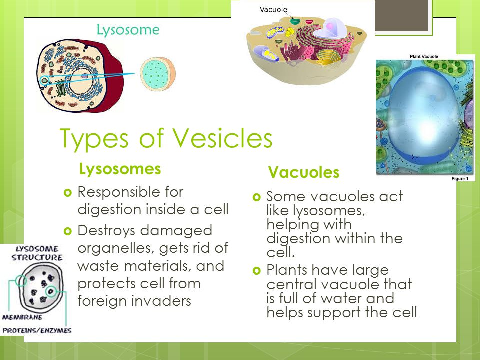 Types of Vesicles Lysosomes  Responsible for digestion inside a cell  Destroys damaged organelles, gets rid of waste materials, and protects cell fr