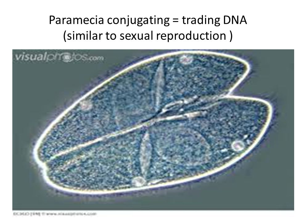 Paramecia conjugating = trading DNA (similar to sexual reproduction )