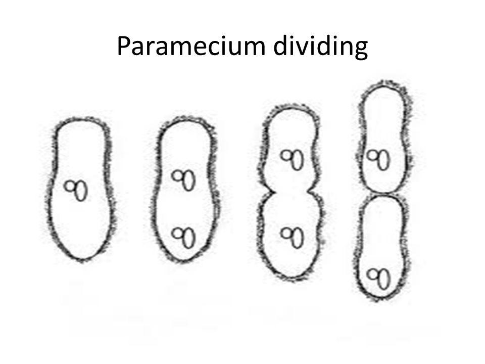 Paramecium dividing