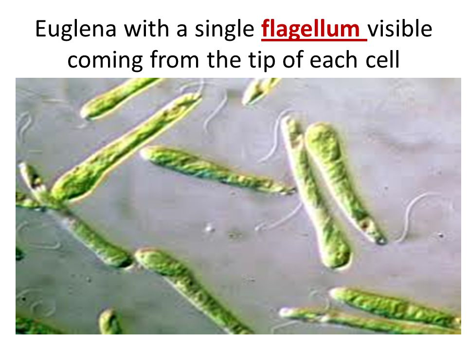 Euglena with a single flagellum visible coming from the tip of each cell