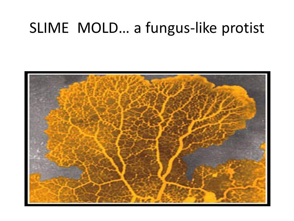 SLIME MOLD… a fungus-like protist