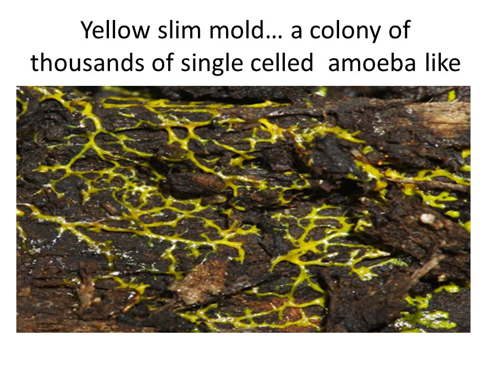 Yellow slim mold… a colony of thousands of single celled amoeba like