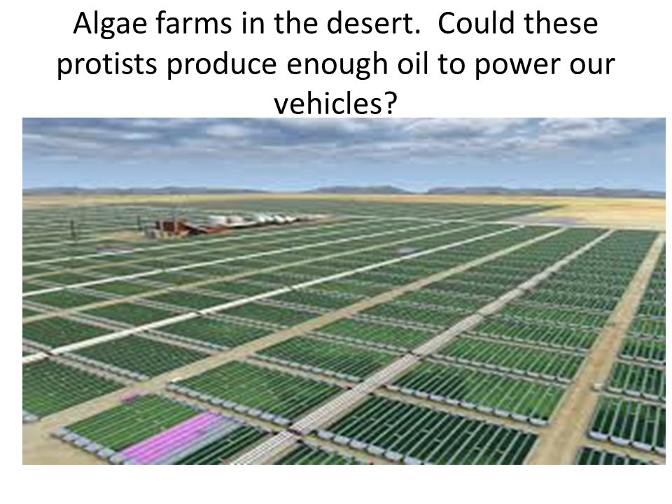 Algae farms in the desert. Could these protists produce enough oil to power our vehicles?