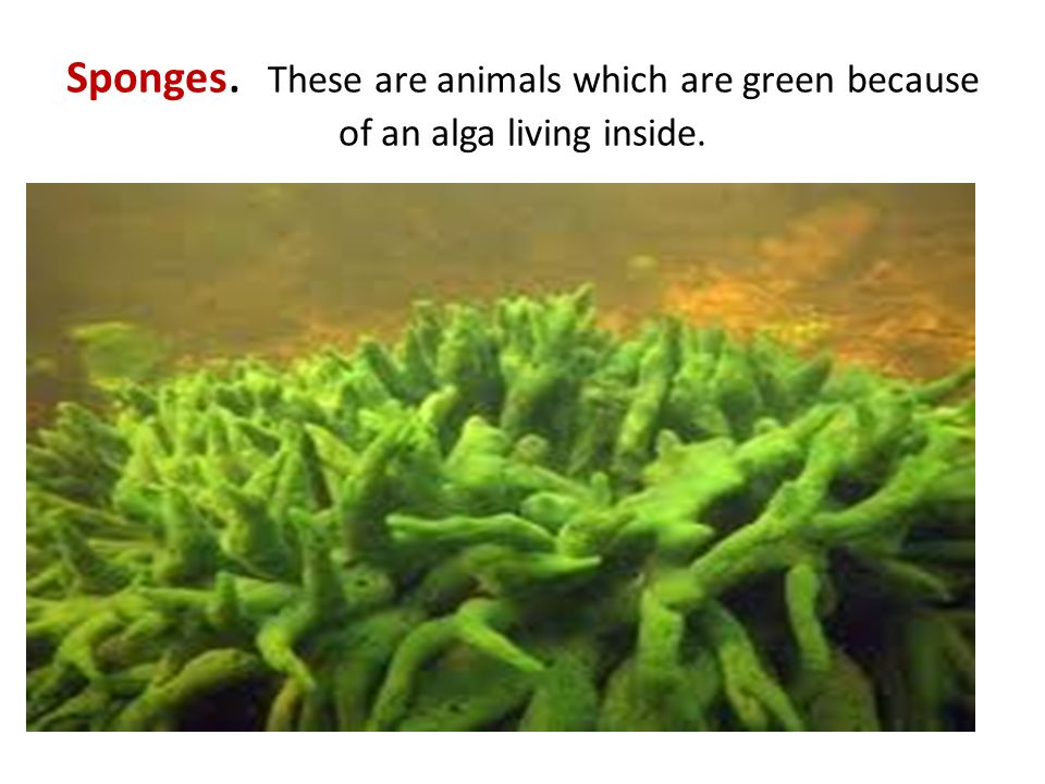 Sponges. These are animals which are green because of an alga living inside.